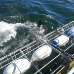 Photo of Great White Shark Tours