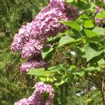 One of the many lilac bushes.