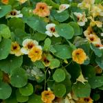 Nasturtiums for garnish