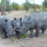 A little family of 3 rhinos