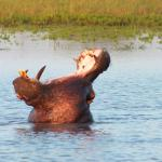 Hippo outside the camp