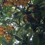 Ripe loquats by the pool -- just pick, peel and eat!