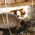 Tortoises eating whatever they can find in the dirt, barely any food available...