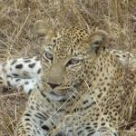 We saw plenty of leopards -- some resting, others enjoyng a meal!