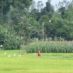 View across the rice fields from the verandah outside of our upstairs room