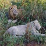 Mating couple - tawny lion and white lioness.