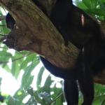 Howler monkey having a nap