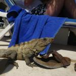 Iguanas: watch where you step!