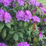rhododendron on the grounds