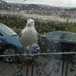 resident seagull george