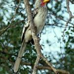 Yellow billed hornbill (aka flying banana)