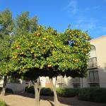 Citrus trees on the grounds - nice to see growing things when visiting from snowy regions