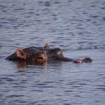 Hippo on our game drive
