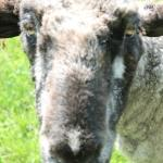 Sheep closeup.