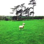 Sheep at Chained Oak