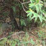 Sleeping leopard cub camouflaged by a clump of trees by the road, taken 5/10/15 during morning d