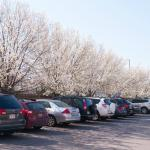 The hotel's beautiful parking lot...full of flowering fruit trees