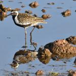 Pacific Golden Plover In Wildlife Refuge