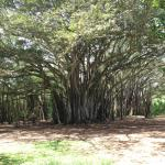 Banyan Tree,,,