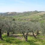 Olive trees at the farm