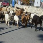 Goats coming down form the Monastry