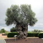 Centuries-old olive tree in the hotel parking lot