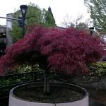 one of the beauitful Japanese maples on the grounds
