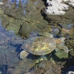 turtle at black sand beach