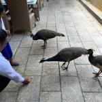 Feeding the peacocks