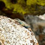 This Sierra Fence Lizard blended with the granite.