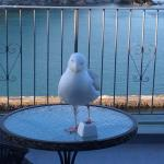 Cyril the Watermark's tame seagull