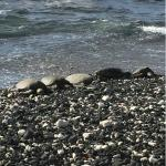 Green sea turtles sunning on shoreline in front of Orchid