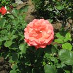 Just one of the beautiful roses growing on the property...
