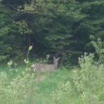 Zoomed in to capture this deer seen from our balcony