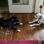 Our dog and one of the resident Dalmations.