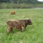 One of the coos in the field outside the hotel