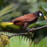Montezuma Oropendola, a huge member of the blackbird family that nests nearby.