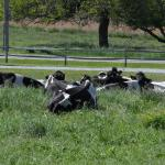 Cows at Leisure