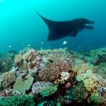 Diving and snorkeling Manta Reef