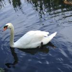 One Swan a'Swimming