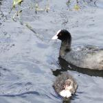 Mamma and Baby Coot