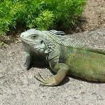 The Iguanas will pose for you!