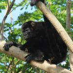 Howler monkeys at Mango Rosa