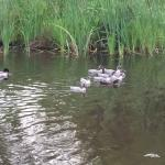 Baby ducks in one of the many ponds