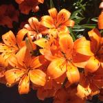 Tiger Lilies beside the pool