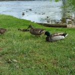 One of duck families that lived near by.