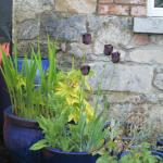 Beautiful black tulips blooming in the garden of the B&B