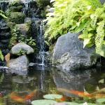 Fish pond full of Koi