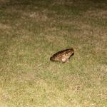 The frogs come out at night...