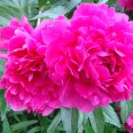 Peony outside of the Canterbury Room